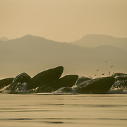 Some of the herring they are catching are clearly visible above the lunging whales. This was taken during a period of clear weather when there was a forest fire hundreds of miles away in the Yukon Territory, which created the unusual lighting.