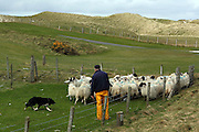 A sheepdog helps a man herd his sheep into the corner of a pen, next to Barra Airport in the Outer Hebrides, Scotland