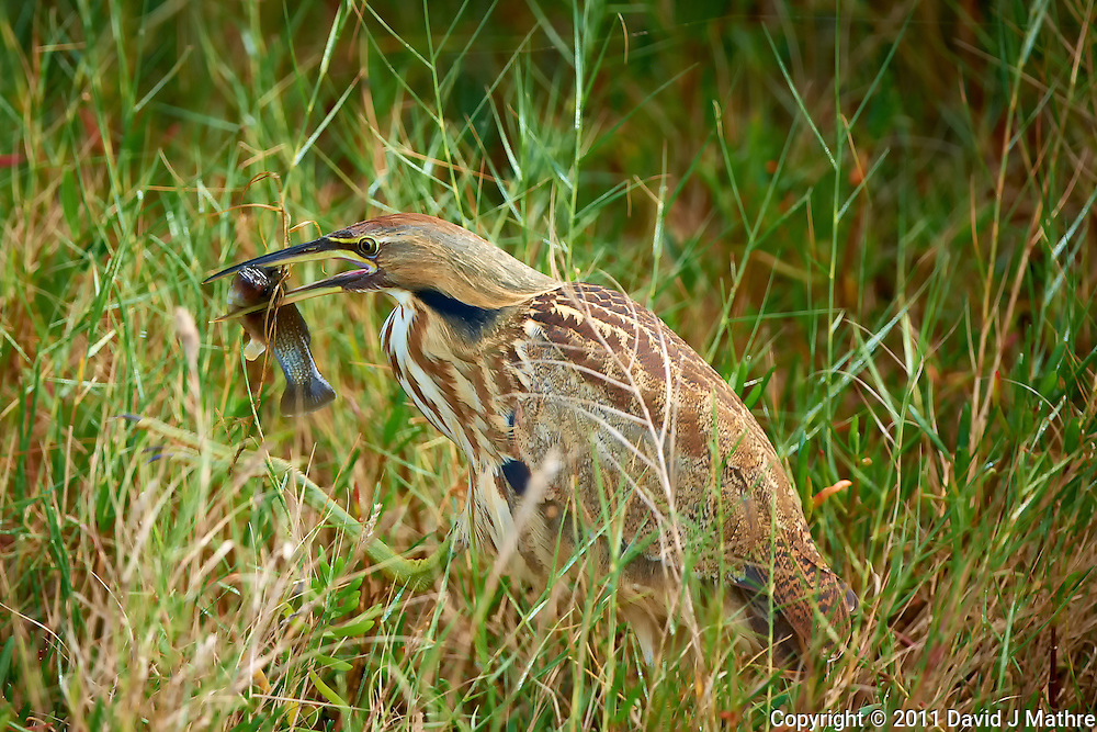 OK, I Caught This Fish -- Now How Do I Swallow It. A Reclusive American Bittern Caught Fishing along Black Point Wildlife Drive in Merritt Island Wildlife Refuge. Image taken with a Nikon D3x and 500 mm f/4 VR II lens (ISO 180, 500 mm, f/4, 1/250 sec).