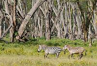 Two Grant's Zebras, Equus quagga boehmi, run in Lake Nakuru National Park, Kenya