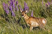 Pronghorn fawn (Antelope) in Habitat