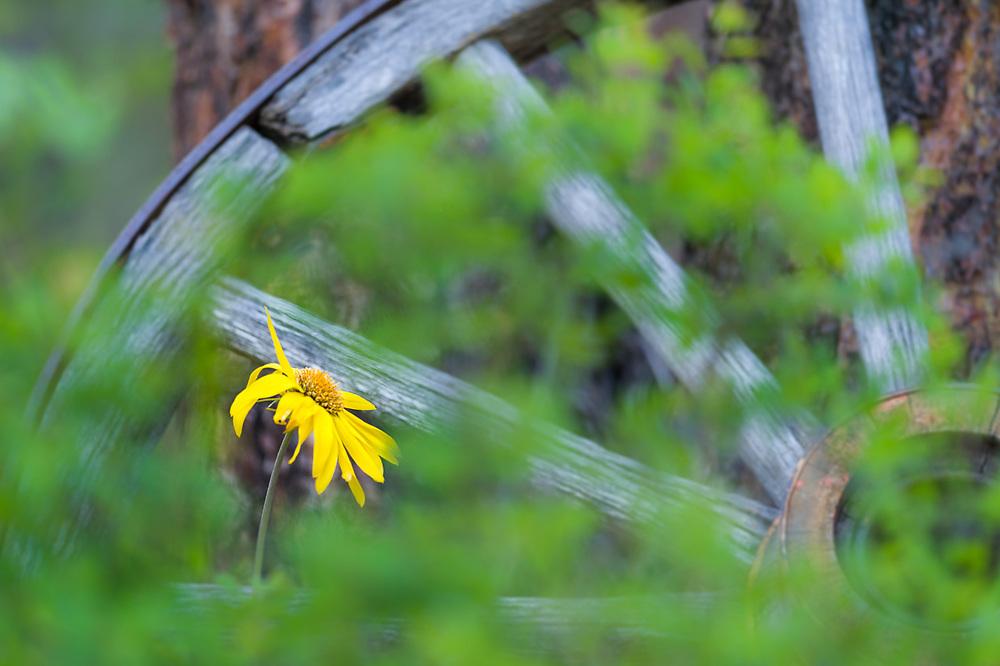 Arrowleaf balsamroot (Balsamorhiza sagittata) and wagon wheel, April, Methow Valley, Okanogan County, Washington, USA
