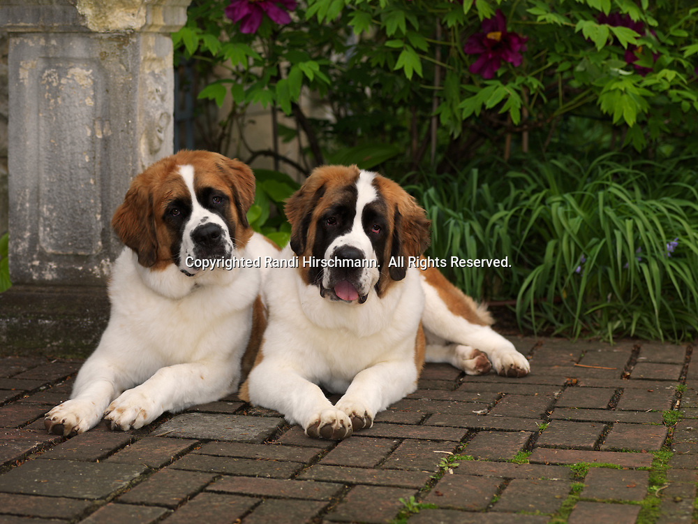 """St. Bernards, AKC, 9-month-olds """"Sugar"""" and """"Mocha"""" photographed at Stan Hywet Hall & Gardens located in Akron, Ohio and owned by Cynthia Knight of Akron, Ohio.  (PR)"""