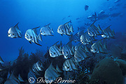 Atlantic spadefish, Chaetodipterus faber, Belize Barrier Reef, Belize, Central America ( Caribbean Sea )
