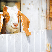 Smiling goat kid at barn gate, ready to be let outdoors to romp. Painted effects blended with original photograph. Image featured on promotional postcard for Malabar Farm State Park.