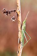 Acrida bicolor horned grasshopper