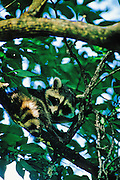 Young Raccoon in tree - Mississippi