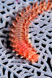 bearded fireworm, Hermodice carunculata, on common sea fan, Gorgonia ventalina, Minnow Caves at night, Key Largo, Florida Keys National Marine Sanctuary, Atlantic Ocean