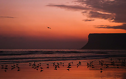 © Licensed to London News Pictures.28/10/15<br /> Saltburn, UK. <br /> <br /> Seabirds gather on the wet sand as stunning colours light up the morning sky over the beach at Saltburn in Cleveland. <br /> <br /> Photo credit : Ian Forsyth/LNP