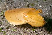 Broadclub Cuttlefish .(Sepia latimanus).Lembeh Straits,Indonesia
