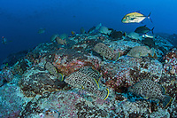 Bluefin Trevally and a school of Leather Bass foraging<br /> <br /> <br /> Shot at Cocos Island, Costa Rica