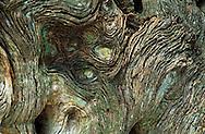 Trunk of a fallen Live Oak tree, Sarasota, Florida