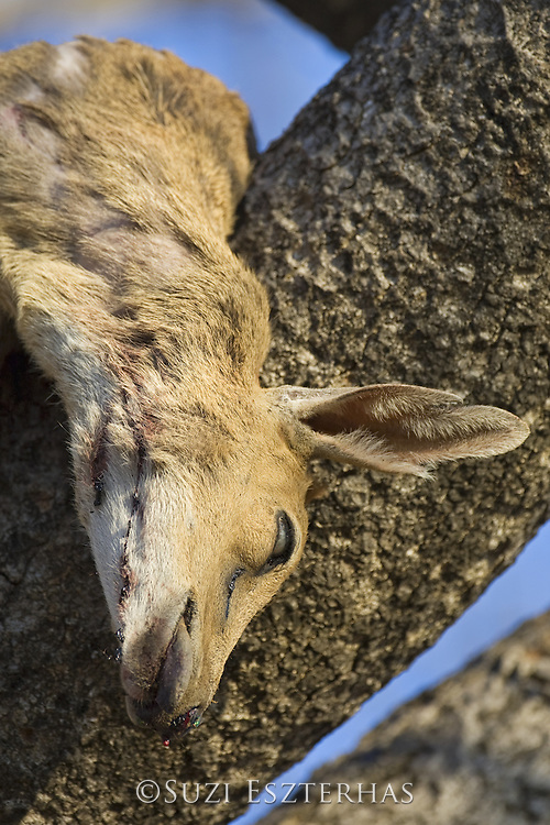 Common Duiker<br /> Sylvicapra grimmia<br /> Carcass hanging in tree (killed by leopard)<br /> Mala Mala Reserve, South Africa