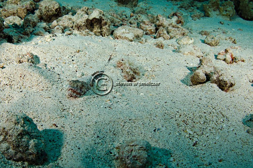 Twospot Lizardfish, Synodus binotatus, Schultz, 1953, Kona Hawaii
