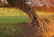 An ancient tree, lit by the evening light, next to Durleigh Brook, on The Meads, near Bridgwater.