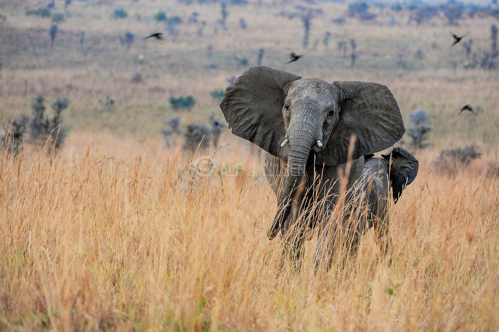 Angry African savanna elephant (Loxodonta africana). Photo from Murchison's Falls, Uganda.