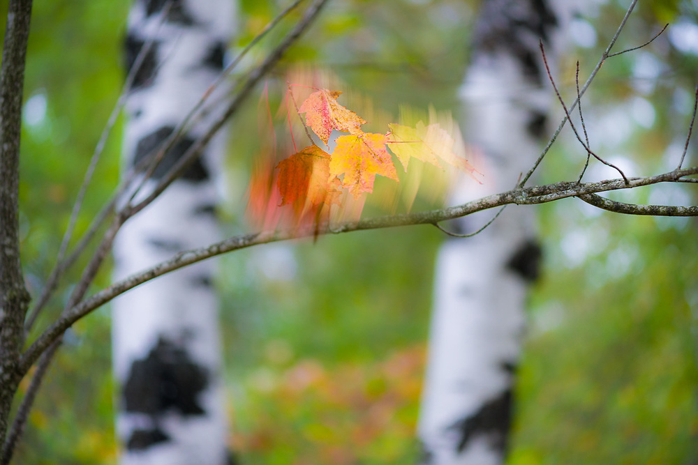 Windblown maple leaves and birch trees, October, middle Michigan, USA