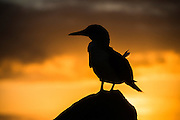 Blue-footed Booby (Sula nebouxii excisa) Silhouette<br /> North Seymour<br /> Galapagos Islands<br /> Ecuador<br /> South America