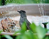 Gray Catbird. Image taken with a Nikon D4 camera and 600 mm f/4 VR lens.
