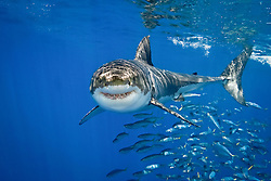 great white shark, Carcharodon carcharias, with schooling jack mackerels, Trachurus symmetricus, Guadalupe Island, Mexico, Pacific Ocean