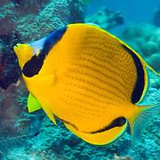 Dotted Butterflyfish inhabit reefs. Picture taken Russell Islands in the Solomon Islands.