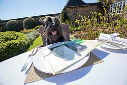 Hamish, the Commonwealth Scottie Dog, checks out the Chez Roux dog menu at Greywalls Hotel & Chez Roux, Gullane.