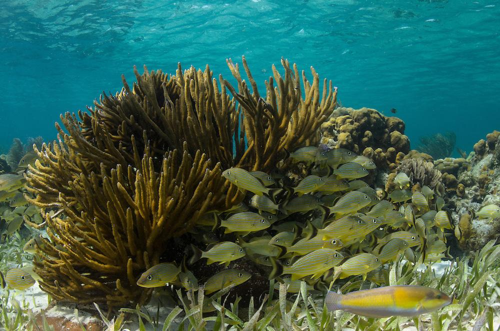 Bluestriped Grunt (Haemulon sciurus) & Yellowhead wrasse (Halichoeres garnoti)<br /> Hol Chan Marine Reserve<br /> near Ambergris Caye and Caye Caulker<br /> Belize<br /> Central America
