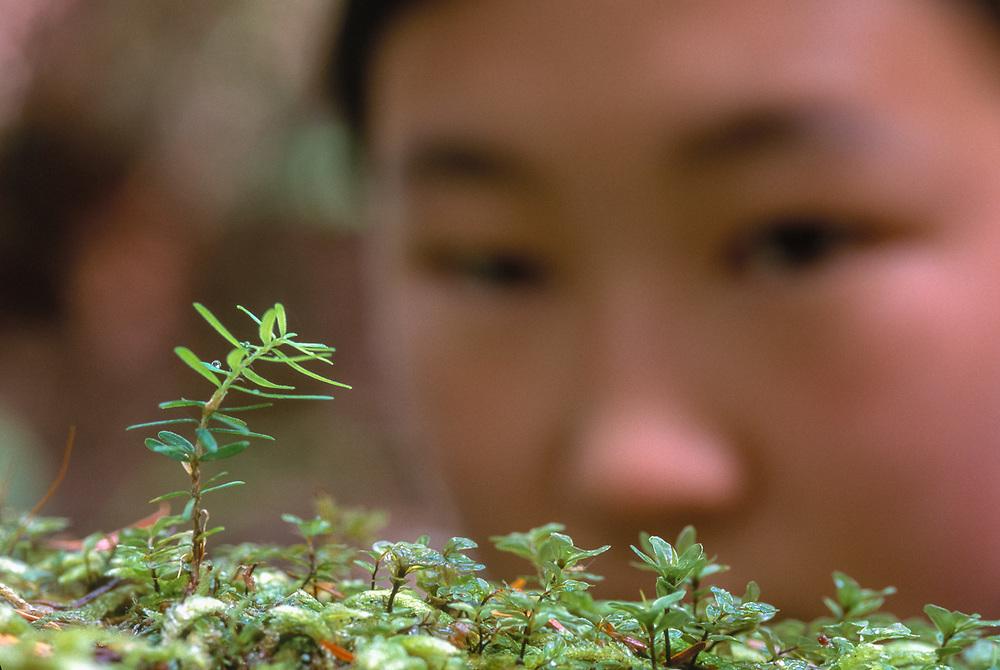 Kate Smithson observes a western hemlock seedling on a nurse log, old growth forest Olympic National Park, Washington, USA