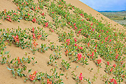Veiny dock or wild begonia (Rumex venosus)  growing  on the sand in the Great Sandhills.<br />Great Sandhills<br />Saskatchewan<br />Canada