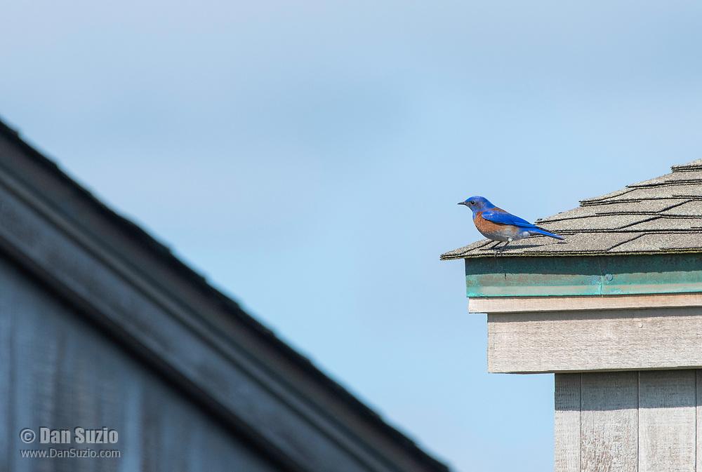 Western Bluebird, Sialia mexicana, perches on a house in Sonoma County, California