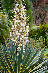 Yucca gloriosa 'Variegata' AGM in flower - Spanish dagger