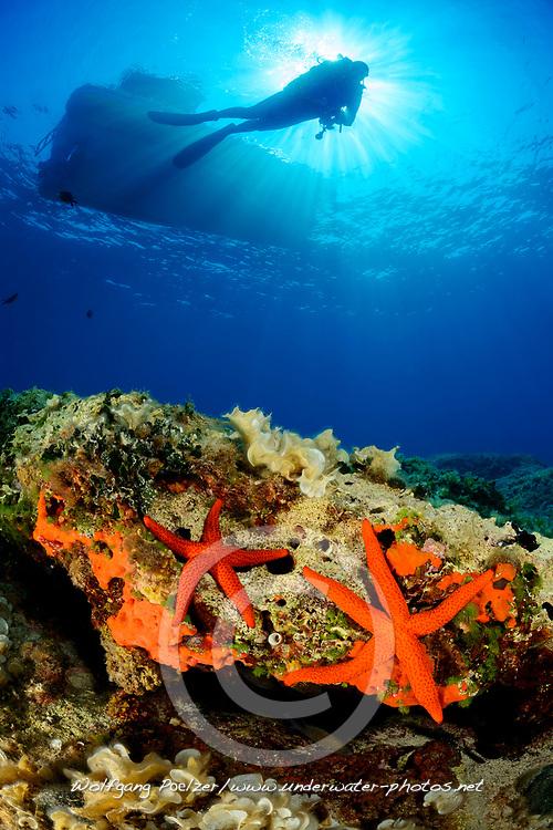 Echinaster sepositus, Roter Seestern und Taucher, Red Starfish and scuba diver, Adria, Adriatisches Meer, Mittelmeer, Kornaten, Dalmatien, Kroatien, Adriatic Sea, Mediterranean Sea, Kornati, Dalmatia, Croatia