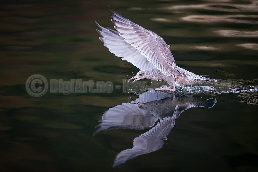 Mirrored Seagull   Speilende måke