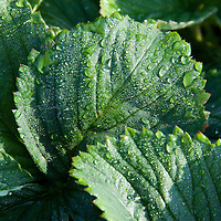 Just after sunrise, the dew at Morning DEW Orchards glistens on the leaves of the strawberry plant as the crew hits the fields.