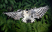 Downy woodpecker (Picoides pubescens) captured in flight.