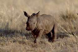 Sept. 29, 2015 - Young Wide-mouthed Rhinoceros, Gauteng Province, South Africa  (Credit Image: © Sator, Whj/DPA via ZUMA Press)