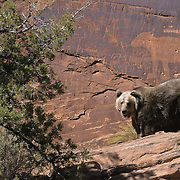 Grizzly Bear (Ursus horribilis) near Anasazi bear pictographs in the red rock country of southern Utah. Captive Animal