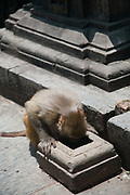 One of the many monkeys at the Swayambhunath temple complex, also called the Monkey Temple looking for water.
