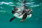 Galapagos Penguin (Spheniscus mendiculus)<br /> Bartolome Island<br /> GALAPAGOS ISLANDS<br /> ECUADOR.  South America<br /> ENDEMIC TO GALAPAGOS ISLANDS