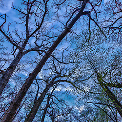 Oak trees, in the York Woods Count Forest Preserve in Oak Brook, Illinois. HDR