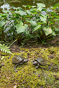 Two of only nine known captive born and critically endangered Central American river turtles (Dermatemys mawii) or Hickatee investigate their surroundings in the Bladen Nature Reserve, Belize.