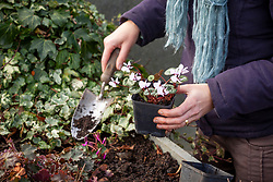 Planting out pots of Cyclamen coum in a raised bed