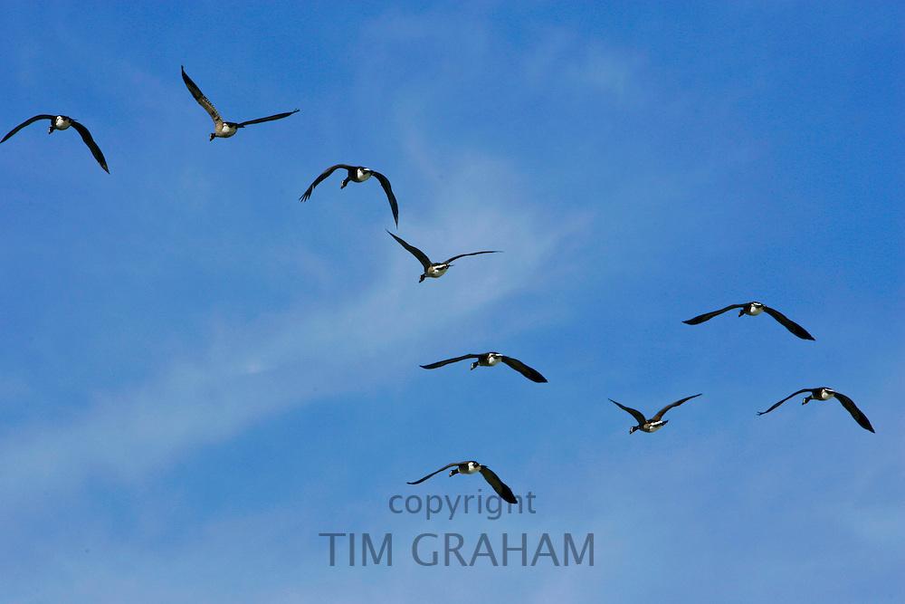 Geese flying over Washington DC, USA. Wild birds are at risk if avian flu bird flu virus spreads.
