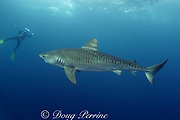 tiger shark, Galeocerdo cuvier, and diver, Aliwal Shoals, east coast of South Africa (near Durban )