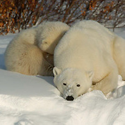 Polar Bear (Ursus maritimus) A mother and her cub take refuge in a snow drift within the willows along the shores of Hudson Bay near Churchill, Manitoba. They are waiting for the ice to freeze on the bay so they can get out on to the ice to hunt seals. November. Canada. Winter.