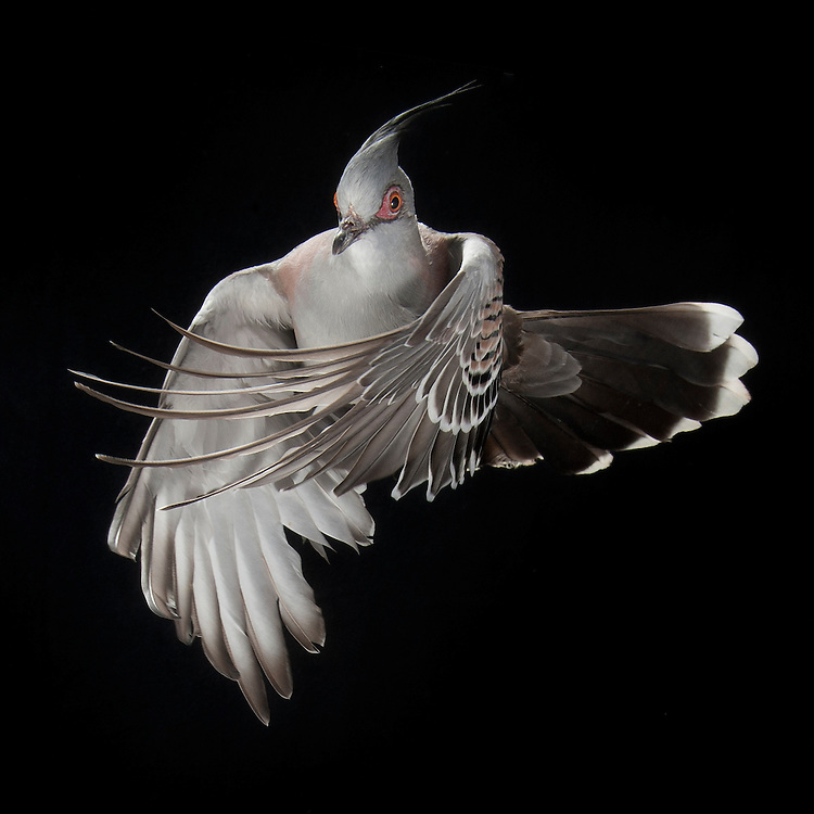 Australian Crested Pigeon, (Ocyphaps lophotes), captive, credit: Pandemonium Aviaries/M.D.Kern