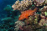 Coral Grouper, Cephalopholis miniata, on coral reef, Red Sea, Egypt