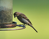 Immature/Junior songbird. Image taken with a Nikon D5 camera and 600 mm f/4 VR lens