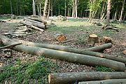 Woodland management, coppicing, East Blean Woodlands, Kent Wildlife Trust, UK, tree cutting, to open woodland so that common cow-wheat can grow for foodplant of Heath Fritillary Butterfly caterpillars, rare, scare