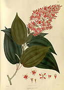 Oxyspora paniculata - Bristletips From Plantae Asiaticae rariores, or, Descriptions and figures of a select number of unpublished East Indian plants Volume 1 by N. Wallich. Nathaniel Wolff Wallich FRS FRSE (28 January 1786 – 28 April 1854) was a surgeon and botanist of Danish origin who worked in India, initially in the Danish settlement near Calcutta and later for the Danish East India Company and the British East India Company. He was involved in the early development of the Calcutta Botanical Garden, describing many new plant species and developing a large herbarium collection which was distributed to collections in Europe. Several of the plants that he collected were named after him. Published in London in 1830